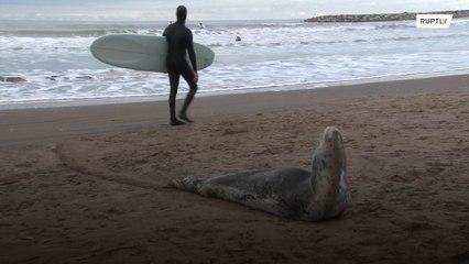 Морской леопард стал звездой пляжа города Мар-дель-Плата