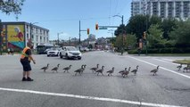 Bus Driver Herds Geese Away From Busy Intersection