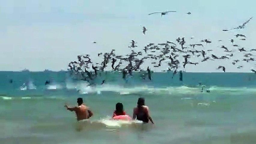 Quand des centaines de pélicans plongent tous ensemble pour pecher