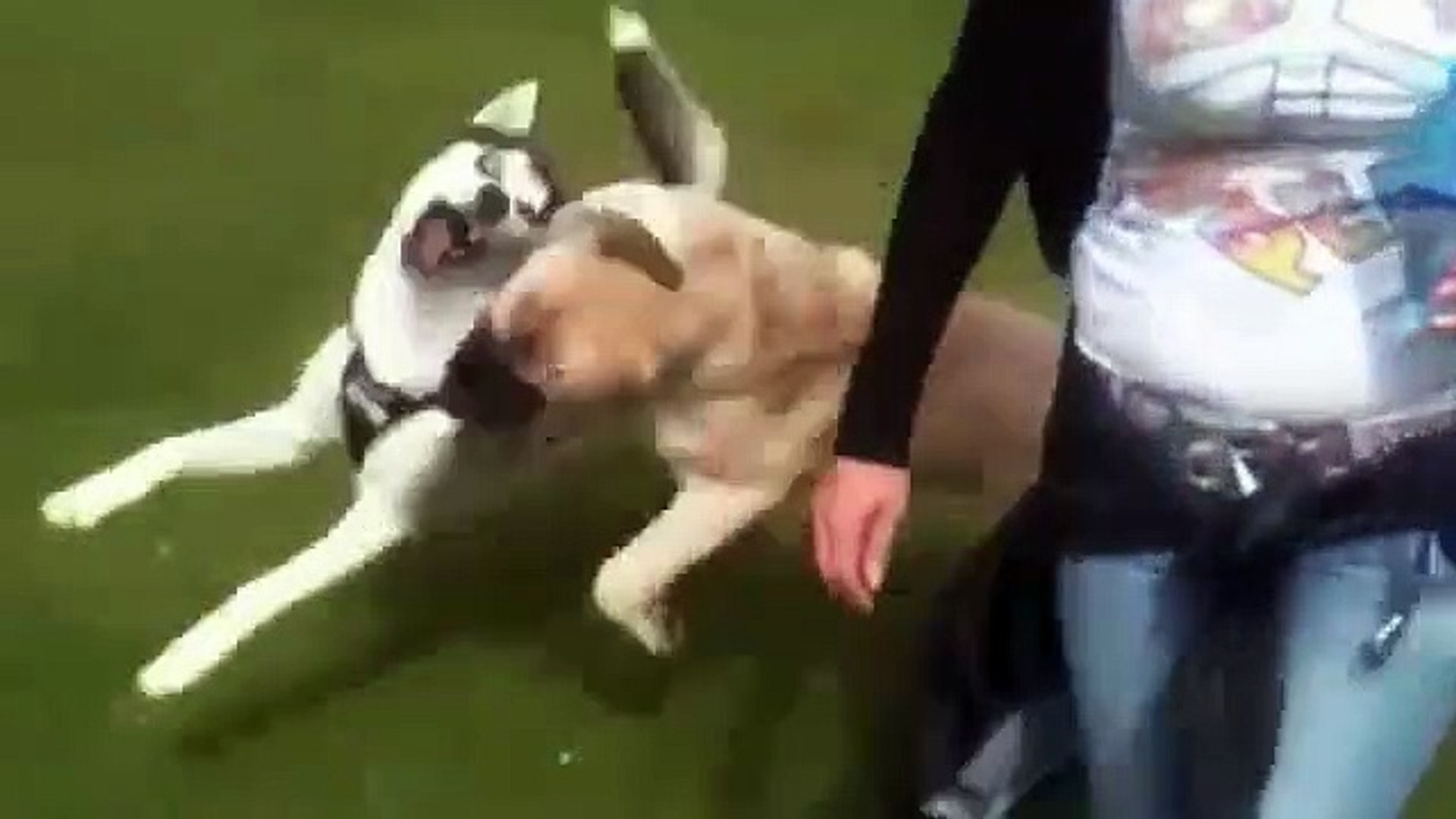 SiBiRYA KURDU vs ANADOLU COBAN KOPEGi - SiBiRiAN HUSKY vs ANATOLiAN SHEPHERD DOG