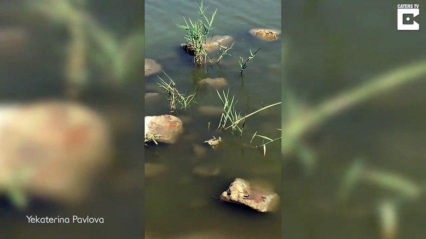 Double repas pour ce serpent qui capture un couple de grenouilles en pleine action...