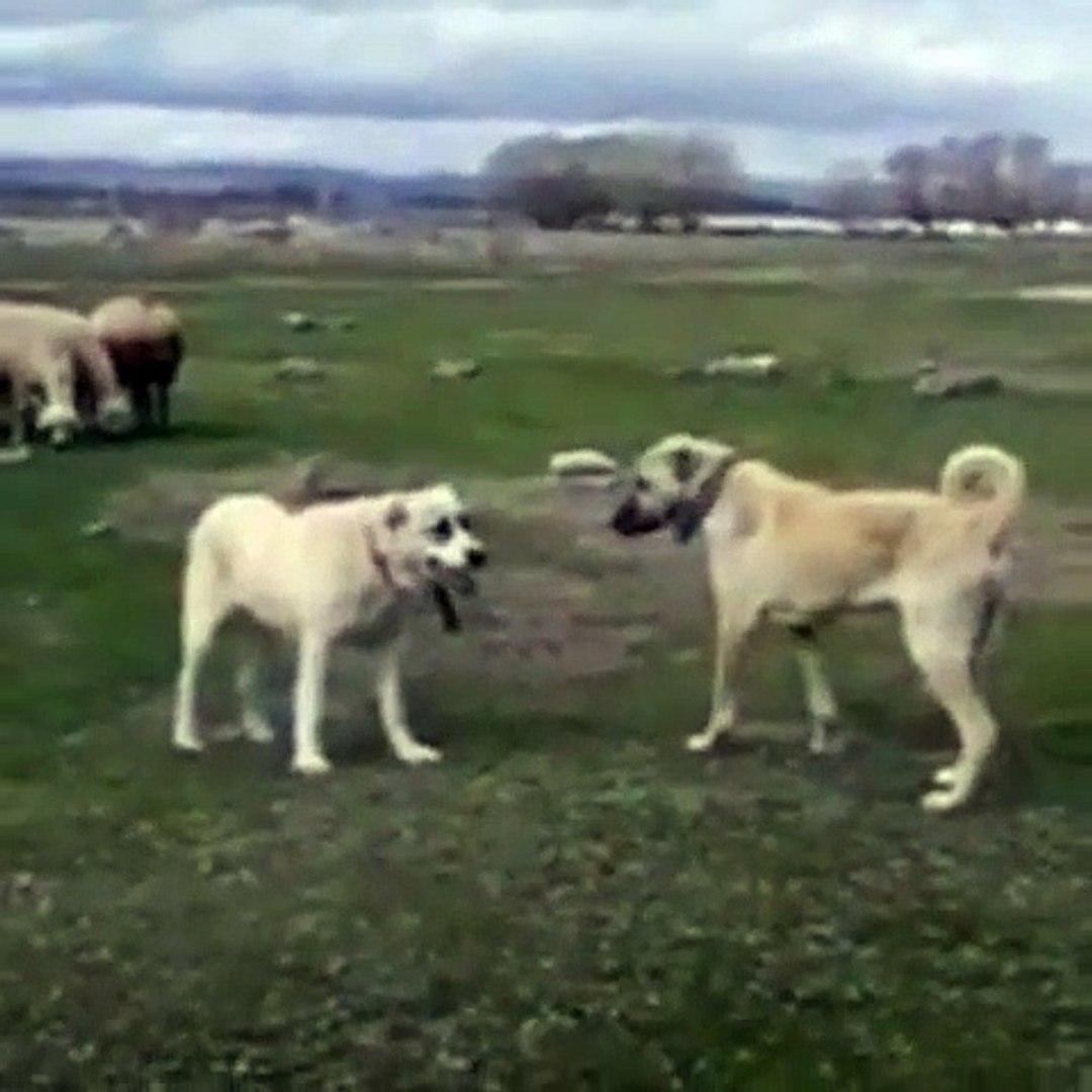 ALA ve KANGAL COBAN KOPEGi KARSI KARSIYA - ALA SHEPHERD DOG and  KANGAL DOG FACE TO FACE
