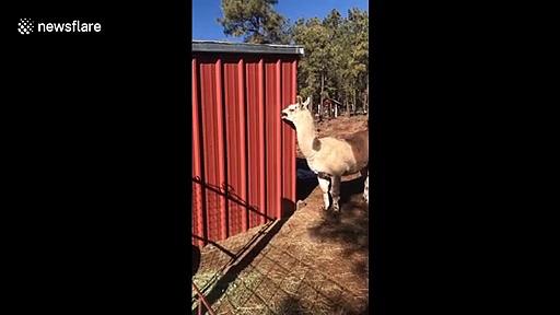 Alpaca licks building