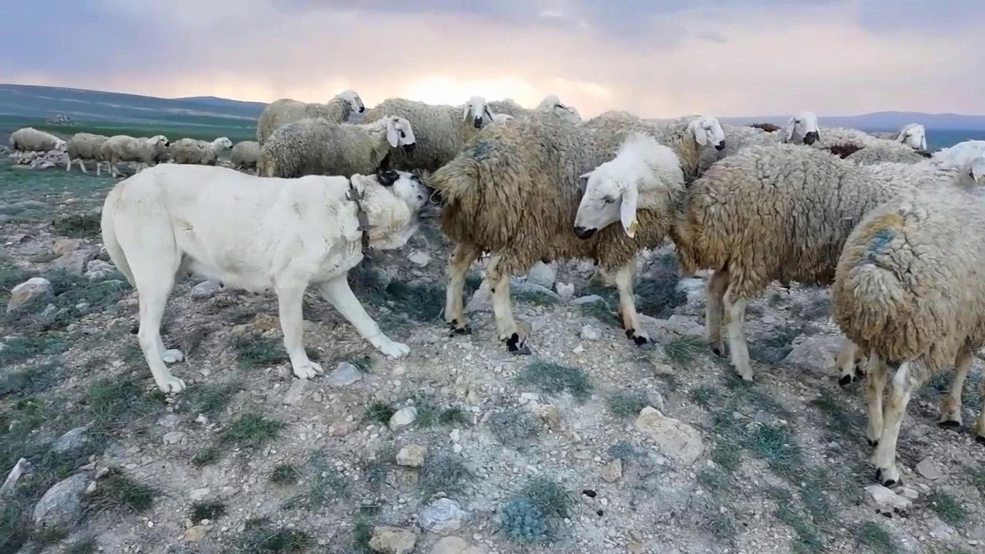 SiVAS KANGAL KOPEGiNiN KOYUN SURUSU için OZVERiSi - KaNGAL SHEPHERD DOG FLEA CLEANiNG