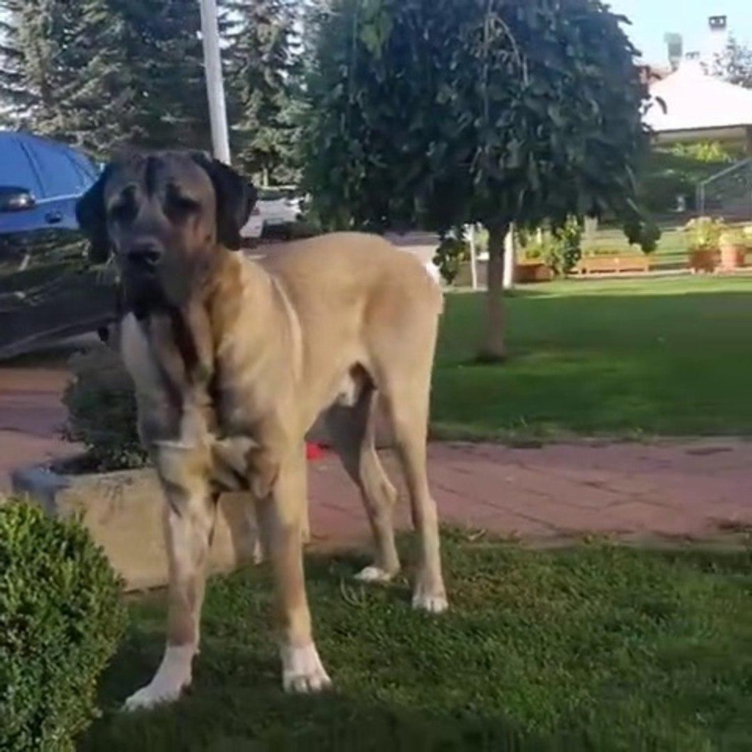 AKSARAY MALAKLI COBAN KOPEGi YAVRUSU - ANATOLiAN SHEPHERD DOG MALAKLI PUPPY