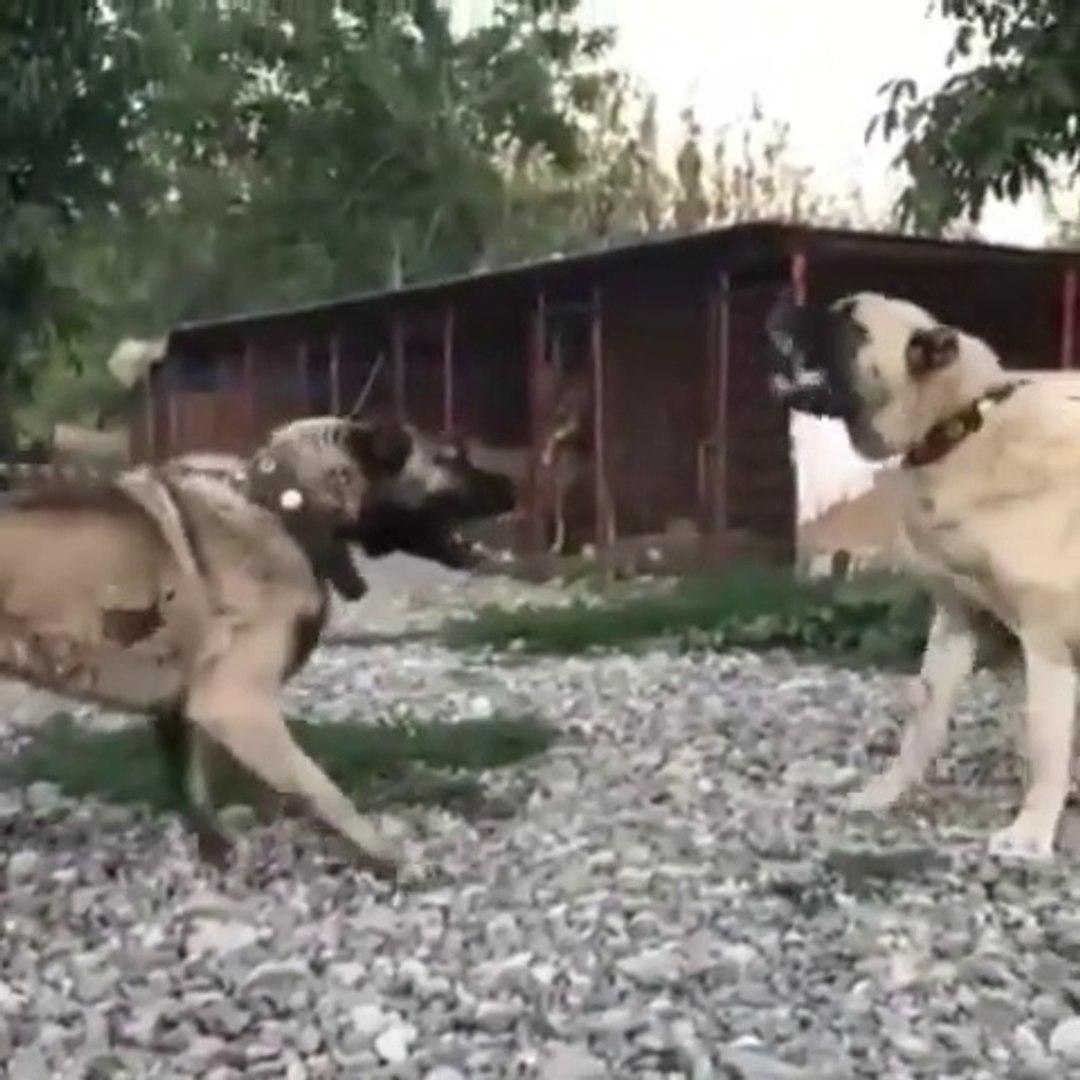 ANADOLU COBAN KOPEGi ve KANGAL KOPEGi YAKIN ATISMA - ANATOLiAN SHEPHERD DOG and KANGAL DOG VS