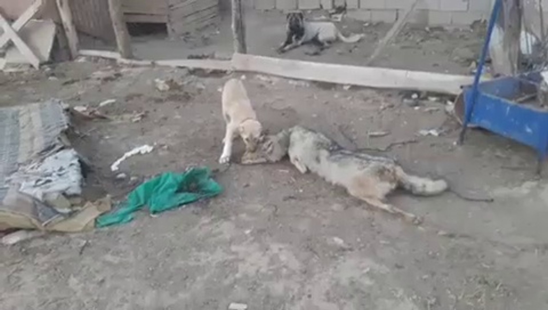 ANADOLU COBAN KOPEK YAVRUSUNA KURT POSTU iLE EGiTiM - ANATOLiAN SHEPHERD DOG PUPPY and WOLF