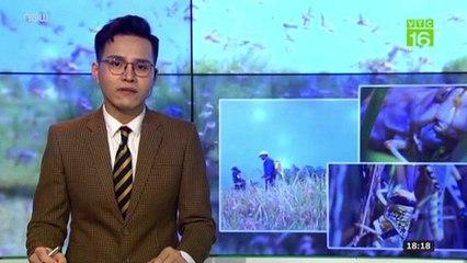 Châu chấu từ Trung Quốc tràn sang phá hoại hoa màu ở Điện Biên | VTC