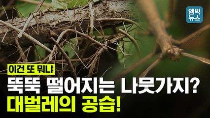 [엠빅뉴스] 뒤엉킨 나뭇가지? 알고 보니 '대벌레'