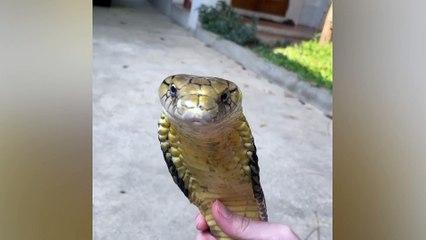 Man strokes his pet king cobra
