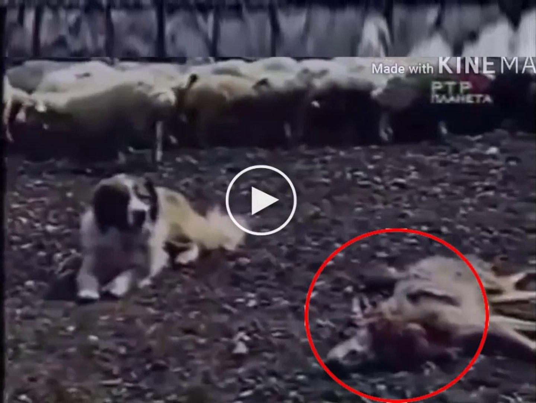 ALABAY COBAN KOPEGi KURT KARSISINDA - COUCASiAN SHEPHERD DOG and WOLF ATTACK