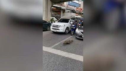Monitor lizard jay walks in front of cars
