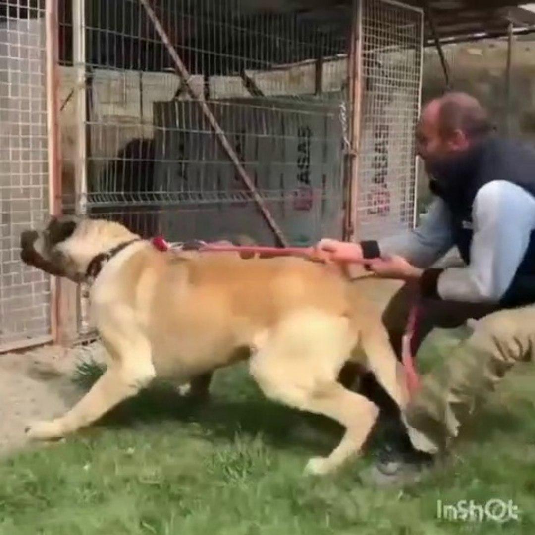 ANADOLU COBAN KOPEKLERi SERT ATISMA - ANATOLiAN SHEPHERD DOGS VS