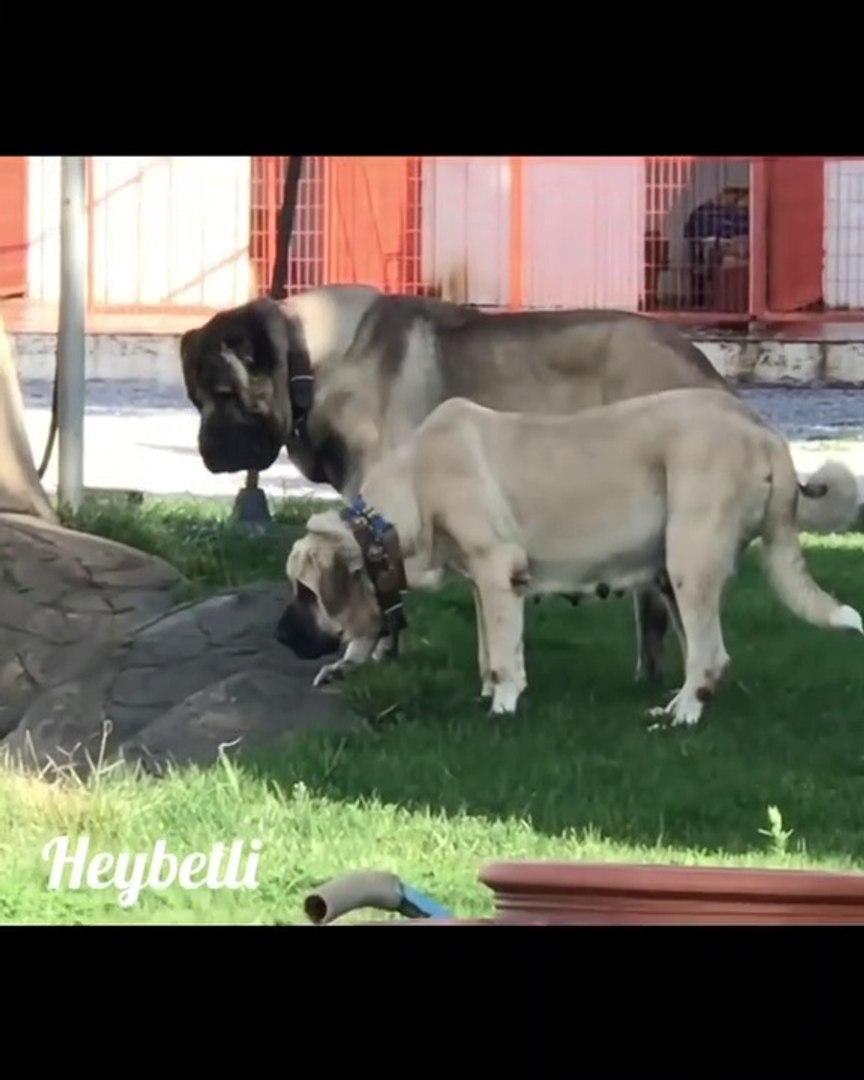 DEV AKSARAY MALAKLI KOPEKLERi - GiANT MALAKLI SHEPHERD DOGS