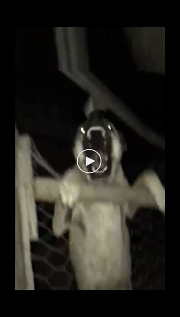 GECE GECE CILDIRAN ANADOLU COBAN KOPEGi - VERY ANGRY ANATOLiAN SHEPHERD DOG