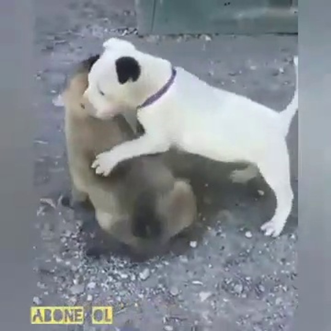 SiVAS KANGAL KOPEGi YAVRUSU vs PiTBULL YAVRUSU - KANGAL DOG PUPPY vs PiTBULL TERRiER puppy