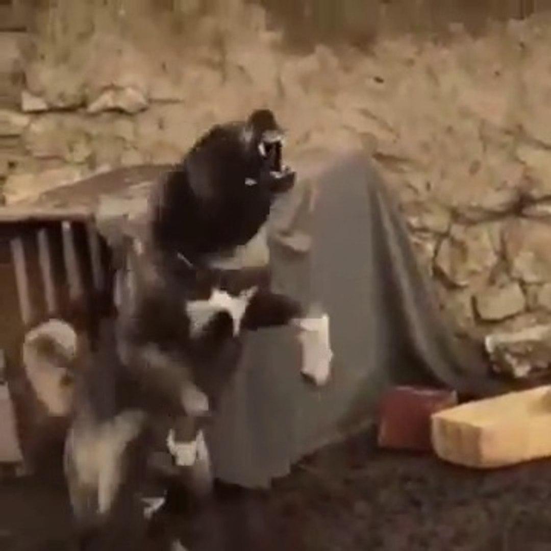 SiVAS KANGAL KOPEGiNiN KIZDIGI ve DELiRDiGi ANLAR - VERY CRAZY and ANGRY KANGAL DOG