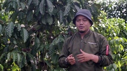 Petani menjemur biji kopi jenis Robusta di Desa Datarajan, Kecamatan Ulubelu, Tanggamus, Lampung.