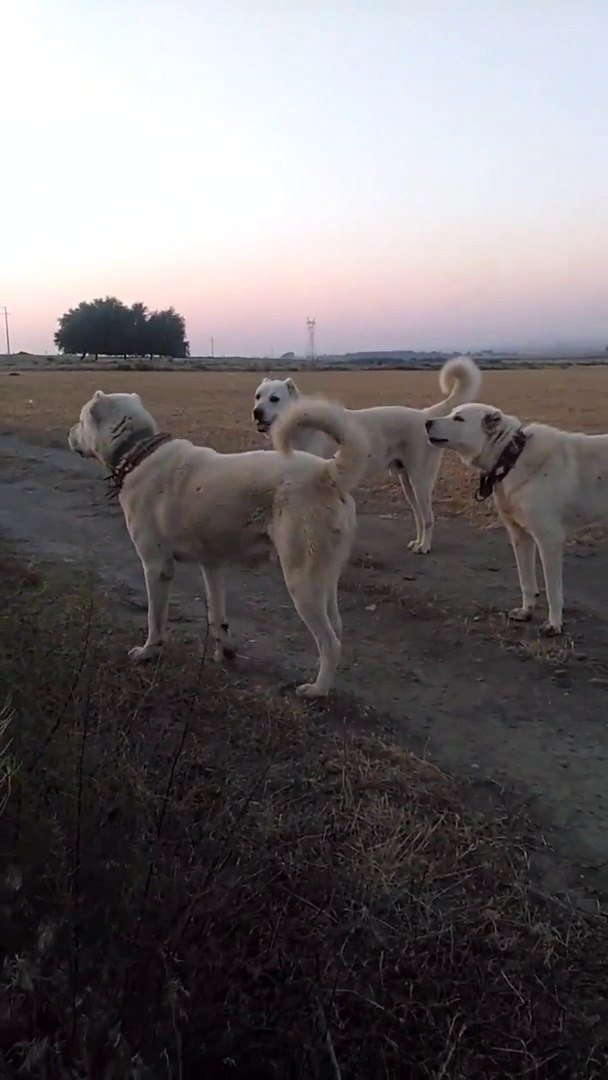 AKBAS COBAN KOPEKLERi GOREV BASINDA HAZIR KITA - ANATOLiAN SHEPHERD DOG AKBASH