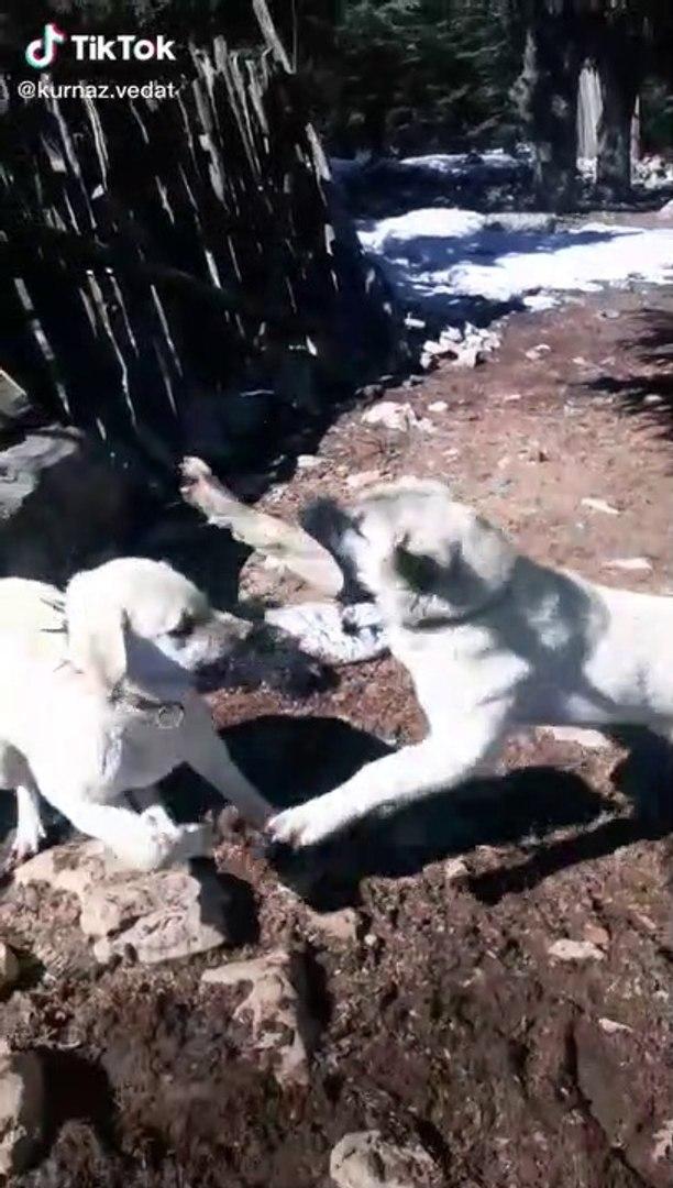 KARDES COBAN KOPEKLERi BiRBiRLERiNE KIZMISLAR BROTHER SHEPHERD DOGS VS