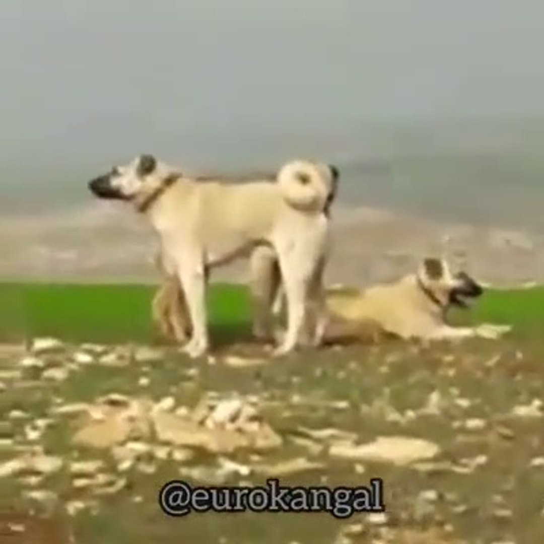 SiMiT KUYRUK SiVAS KANGALLARI GOREV BASINDA - KANGAL SHEPHERD DOGS at MiSSiON