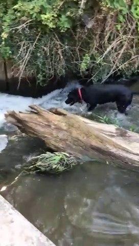 Ce chien va chercher les pastèques qu'on lui lance dans la rivière