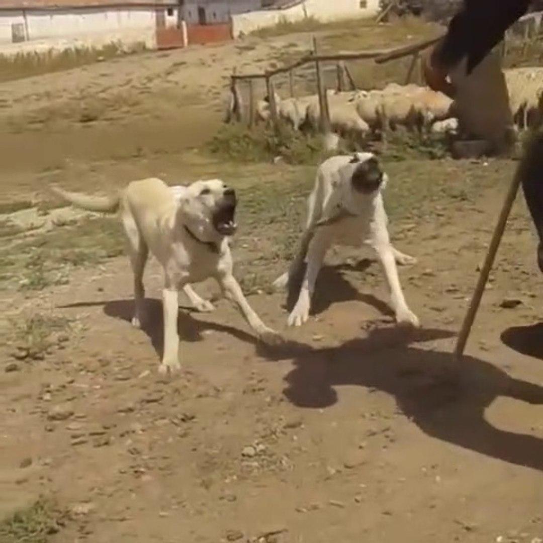 FULL SiSTEM ADAMCI ANADOLU COBAN KOPEKLERi - VERY ANGRY ANATOLiAN SHEPHERD DOG