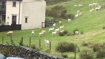 Wie eingefroren: Dutzende Schafe stehen einfach still