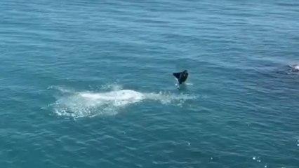 Sportlich unterwegs: Teufelsrochen springt mehrmals aus dem Wasser