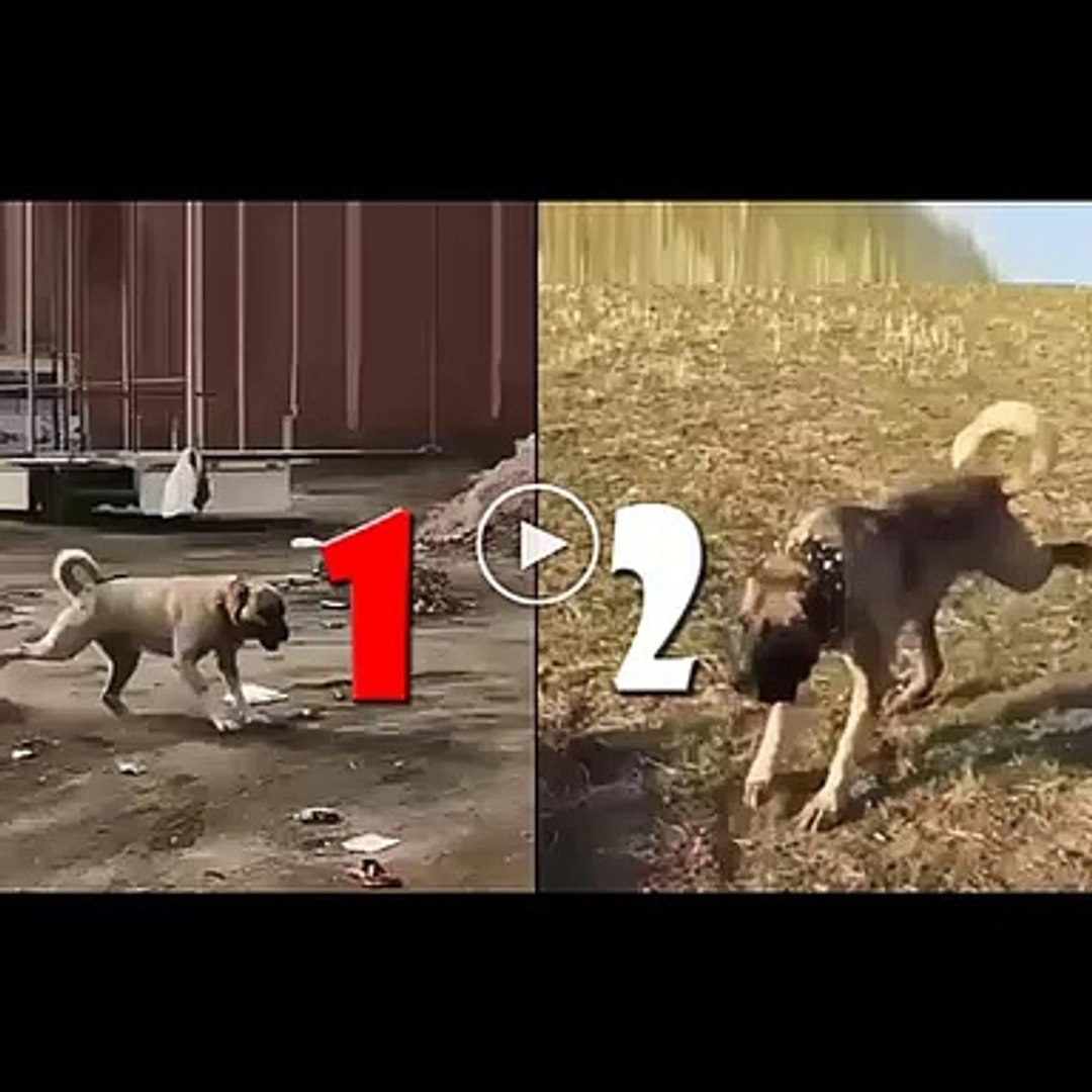 ANADOLU COBAN KOPEKLERi KARSILASTIRMA - ANATOLiAN SHEPHERD DOGS