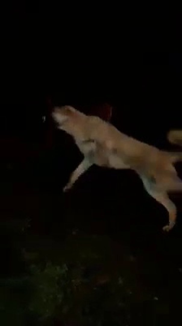 GECE GECE SiNiR KUPU COBAN KOPEGi - ANGRY ANATOLiAN SHEPHERD DOG at NiGHT