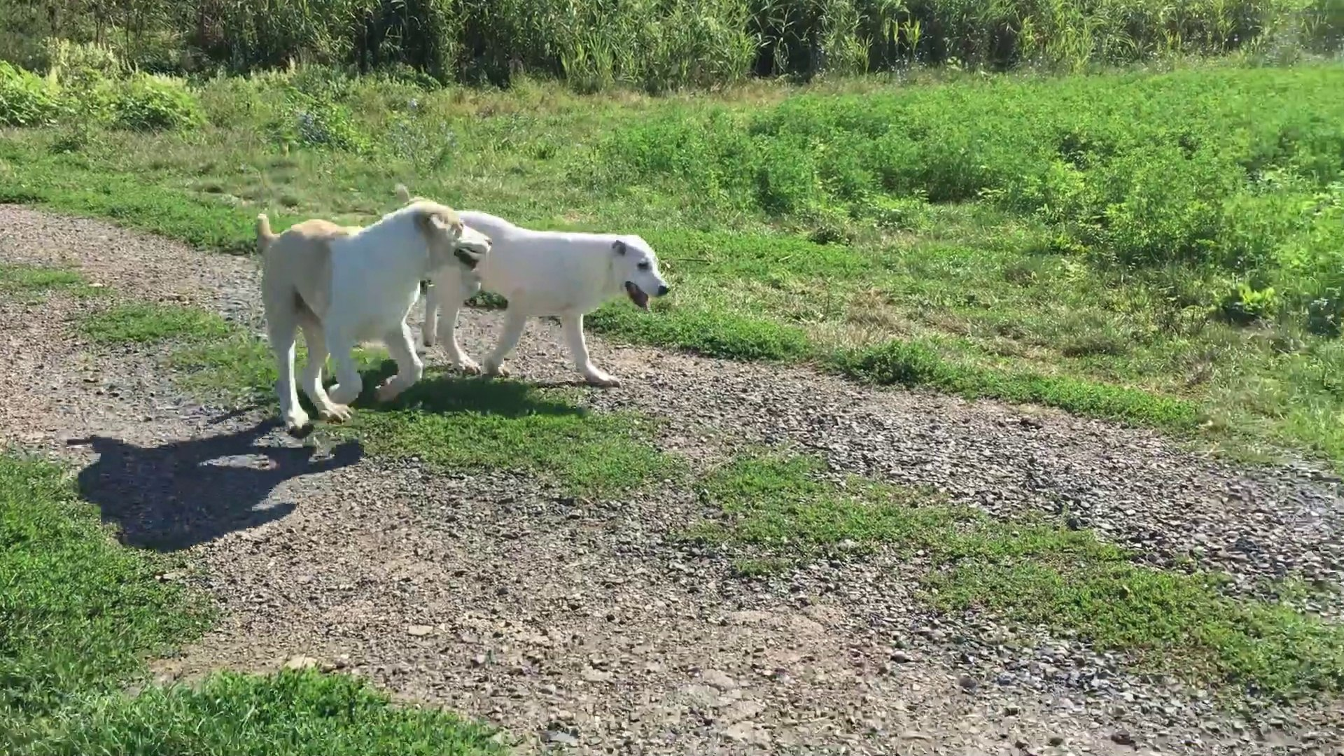 ALABAY COBAN KOPEGi YAVRULARI OGLEN GEZiNTiSi - ALABAi SHEPHERD DOG PUPPiES WALK