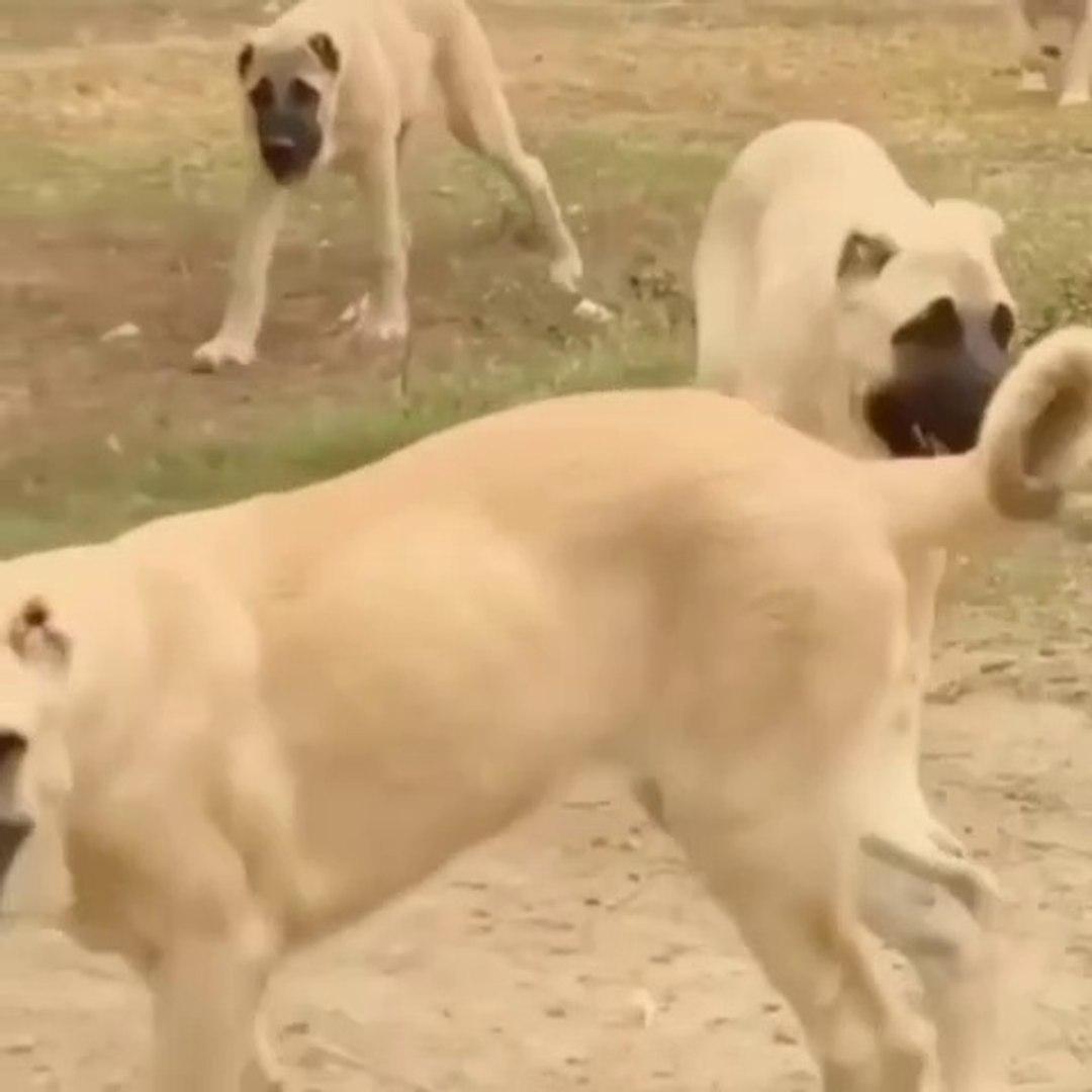ANADOLU COBAN KOPEGi YAVRULARI BAHCE GEZiNTiSi - ANATOLiAN SHEPHERD DOG PUPPiES GARDEN WALK