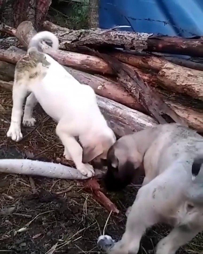 ANADOLU COBAN KOPEGi YAVRULARI KAHVALTI SONRASI EGZERSiZ - ANATOLiAN SHEPHERD DOG PUPPiES EXERCiSE