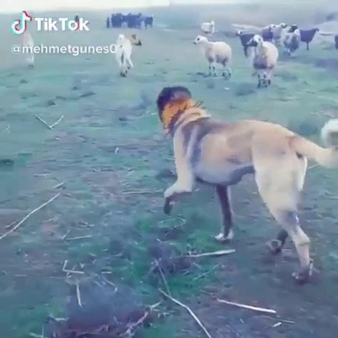 ANADOLU COBAN KOPEKLERi KOYUN NOBETi GOREVi BASINDA - ANATOLiAN SHEPHERD DOGS SHEEPS MiSSiON