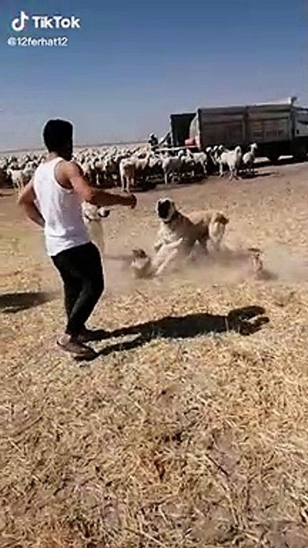 SiVAS KANGAL KOPEKLERiNiN YANLIS ANLAMALARI - KANGAL SHEPHERD DOGS VS at MiSSiON