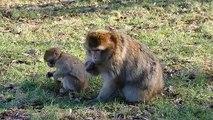 Monkey ,  Monkeys ,  Monkey videos