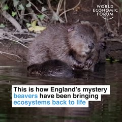 This is how England's mystery beavers have been bringing ecosystems back to life