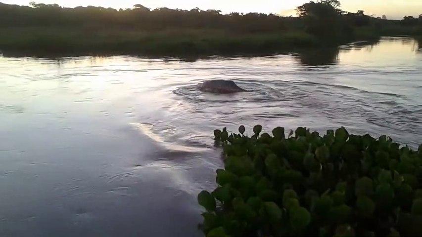 Mais quel est ce monstre marin qui nage dans cette rivière brésilienne
