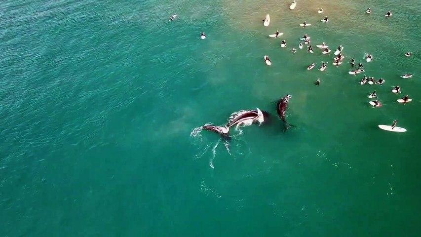 Un maman baleine repousse les surfeurs pour protéger son petit