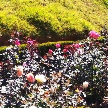 Ooty Rose garden video 2