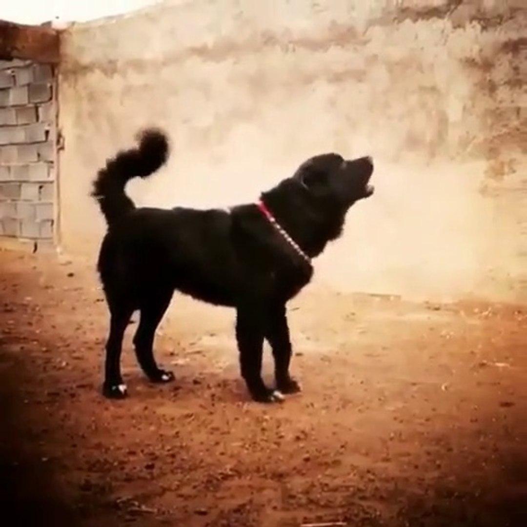 iRAN SARABi COBAN KOPEGi - SARABi PERSiAN DOG