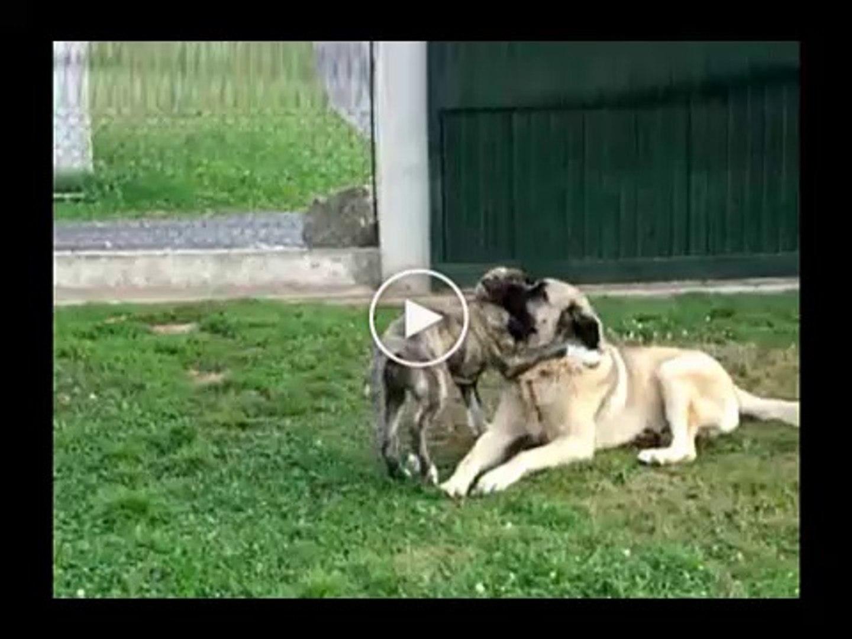 CAPAR YAVRUSU ve ANADOLU COBAN KOPEGi - ANATOLiAN SHEPHERD DOG CAPAR PUPPY GAME PLAY
