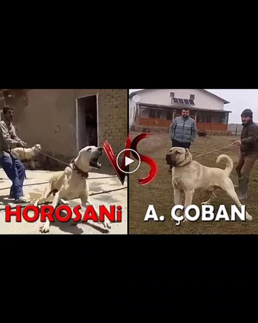 COBAN KOPEGi vs HOROSANi COBAN KOPEGi - ANATOLiAN SHEPHERD DOG vs HOROSANi SHEPHERD DOG