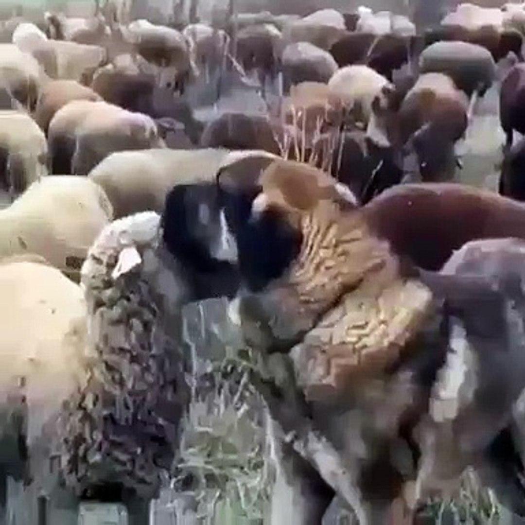 COBAN KOPEGiNDEN KOYUNLARA SABAH BAKIMI - ANATOLiAN SHEPHERD DOG SHEEP CLEANiNG