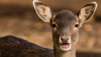 California Deer Are Facing Their Own Pandemic, And Need To Practice Social Distancing