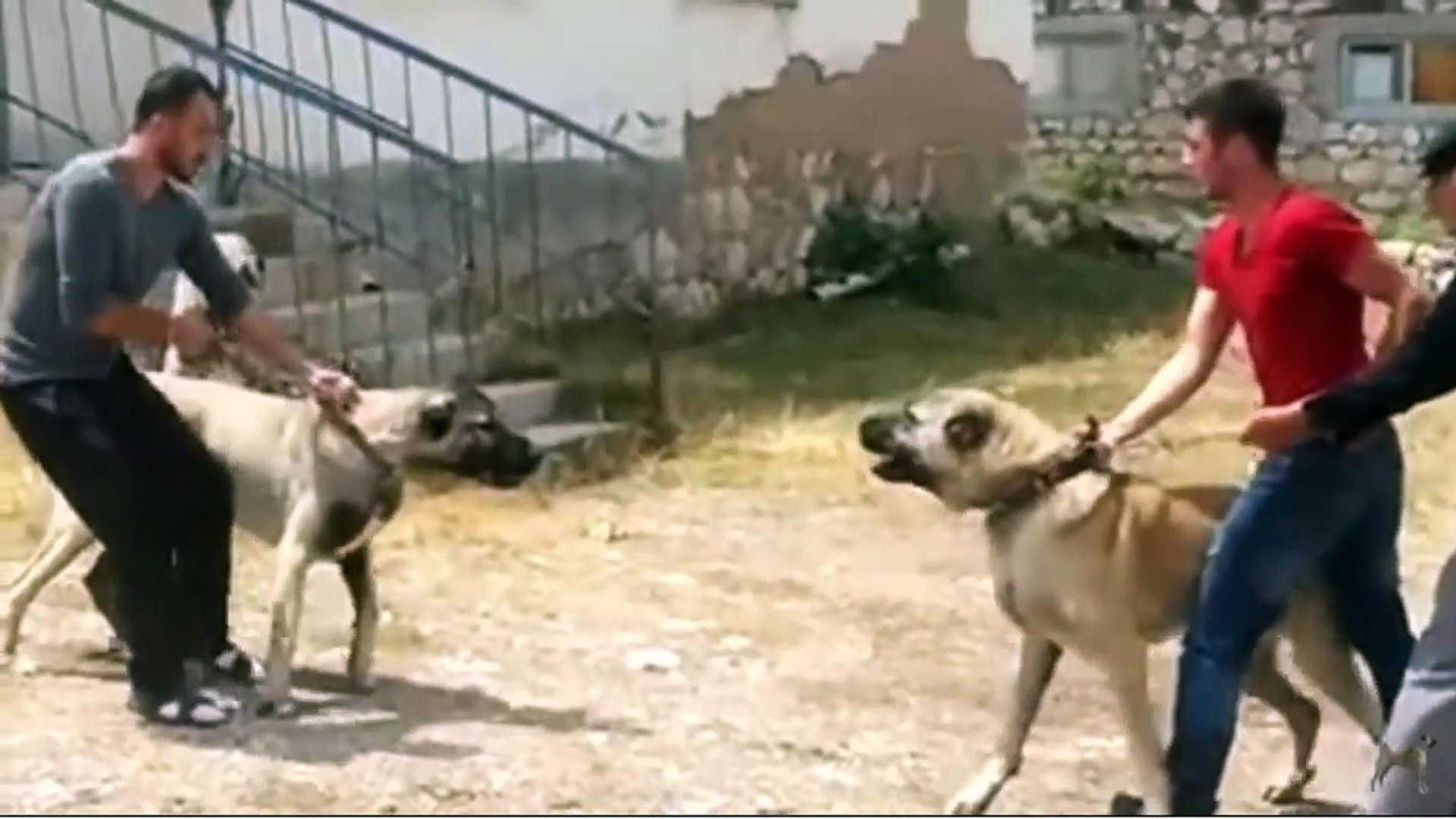 2 SiVAS KANGAL KOPEGi KARSILASMASI ve ATISMASI - KANGAL DOG and KANGAL DOG vs