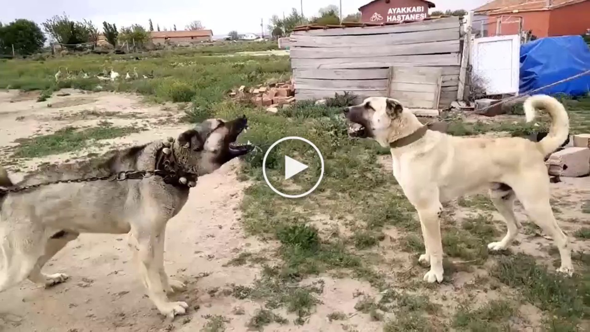 ANADOLU COBAN KOPEKLERi ATISMA - ANATOLiAN SHEPHERD DOGS VS
