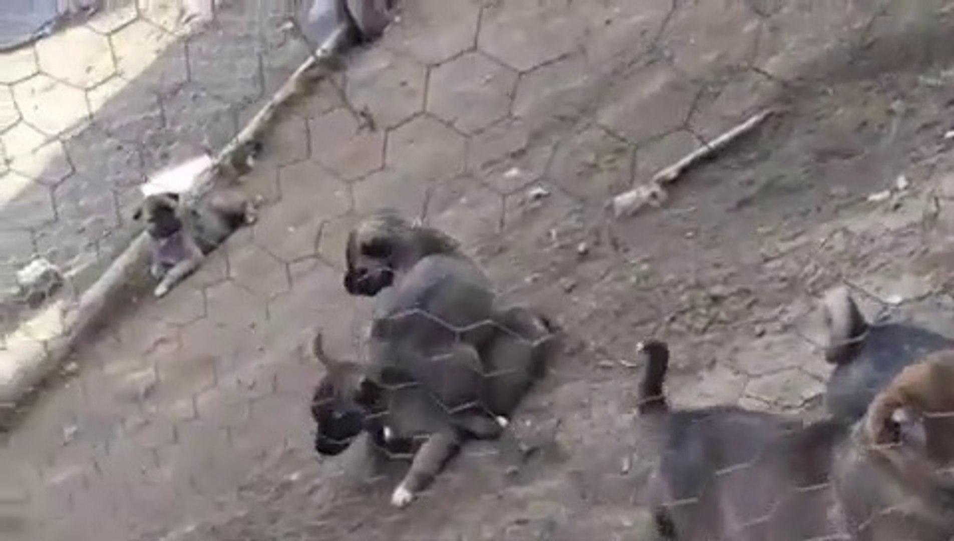 SiVAS KANGAL KOPEK YAVRULARI KURT ALISTIRMALARI - SiVAS KANGAL DOG PUPPiES