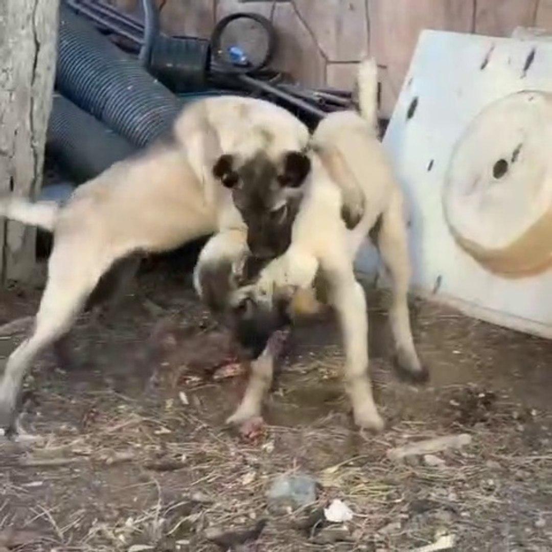 SiVAS KANGAL KOPEGi YAVRULARI YEMEK PAYLASAMAMA - KANGAL DOG PUPPiES EAT and VS